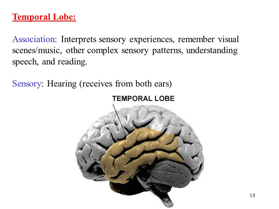 18 Temporal Lobe: Association: Interprets sensory experiences, remember visual scenes/music, other complex sensory patterns, understanding speech, and reading.