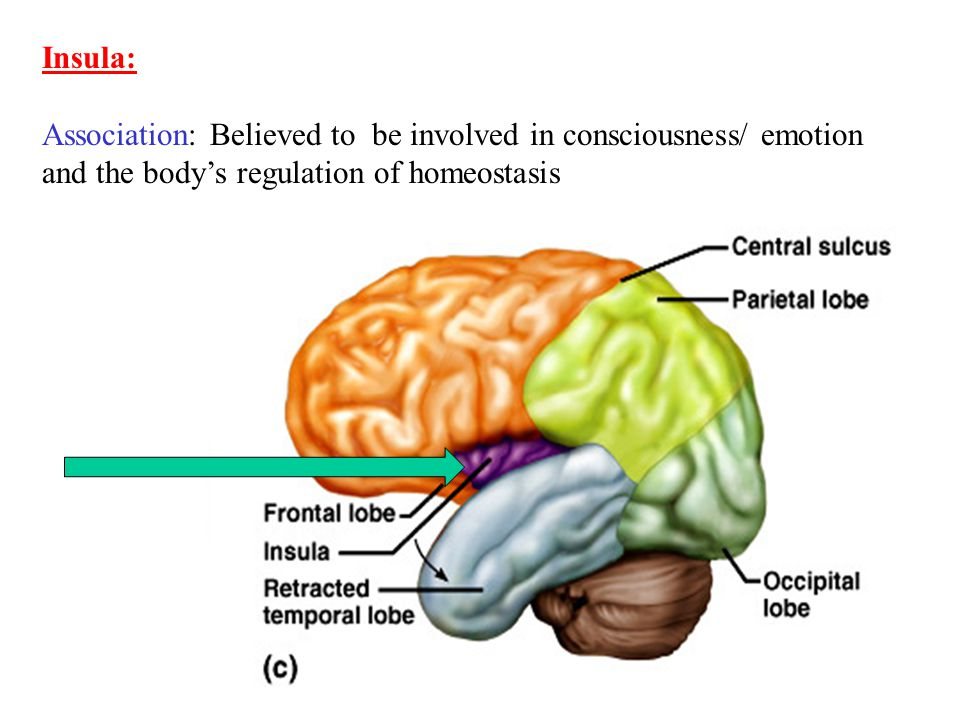 21 Insula: Association: Believed to be involved in consciousness/ emotion and the body's regulation of homeostasis