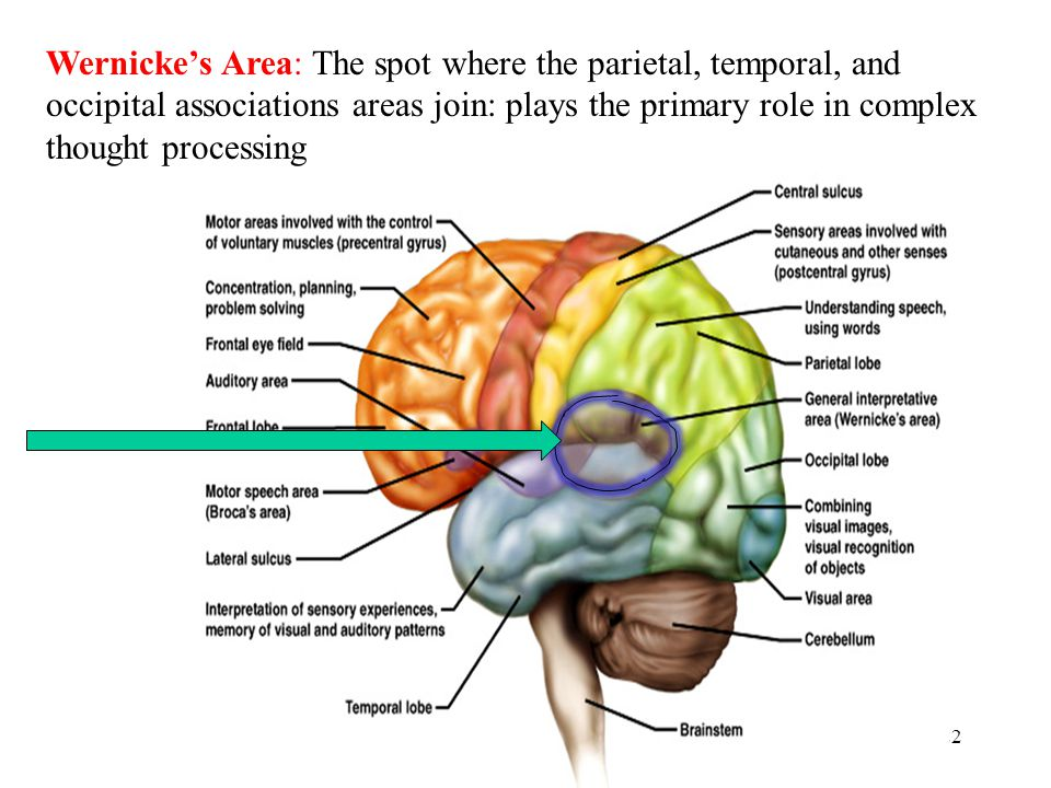 22 Wernicke's Area: The spot where the parietal, temporal, and occipital associations areas join: plays the primary role in complex thought processing
