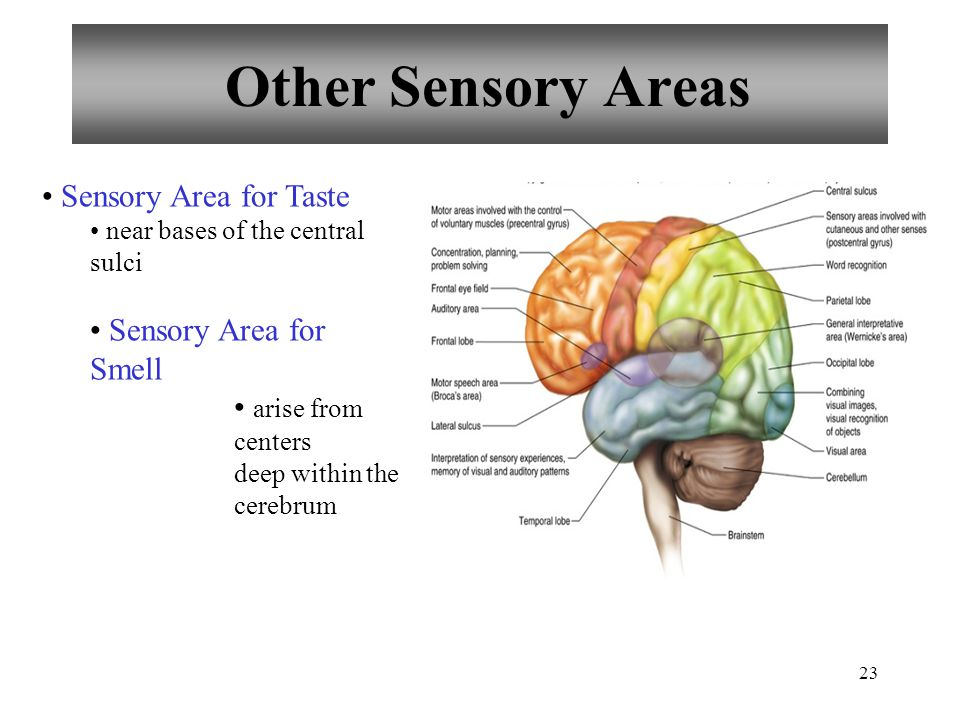 23 Other Sensory Areas Sensory Area for Taste near bases of the central sulci Sensory Area for Smell arise from centers deep within the cerebrum
