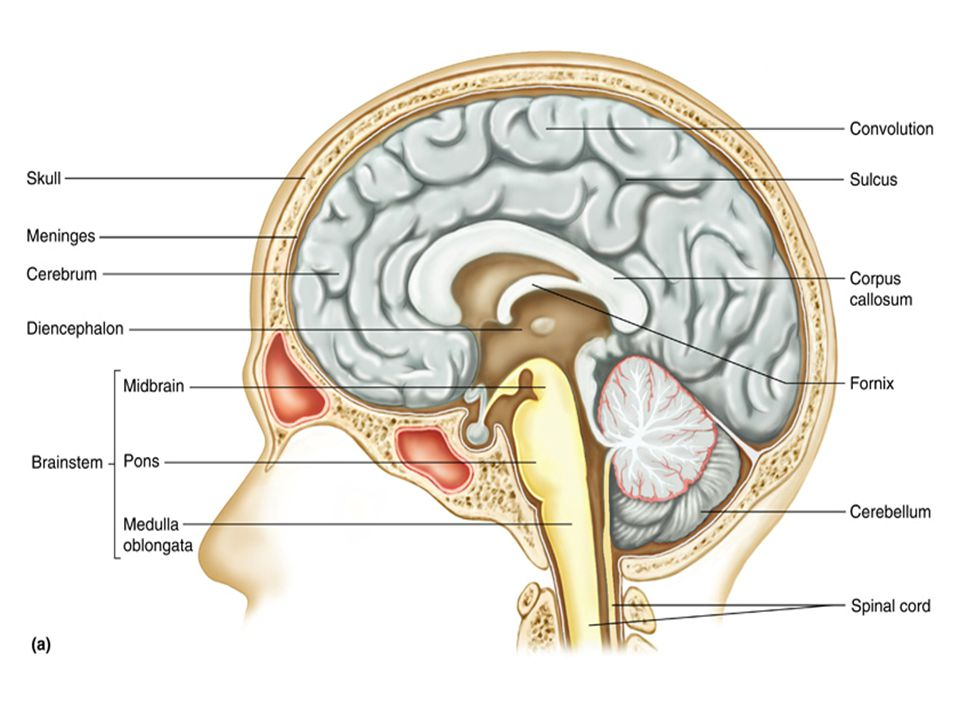 4 Corpus Callosum: connects cerebral hemispheres