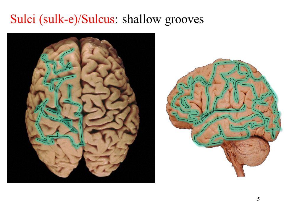 5 Sulci (sulk-e)/Sulcus: shallow grooves