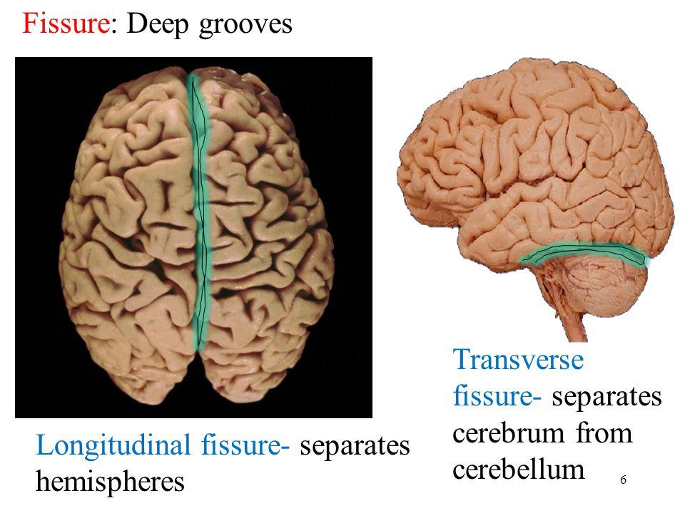 6 Fissure: Deep grooves Longitudinal fissure- separates hemispheres Transverse fissure- separates cerebrum from cerebellum
