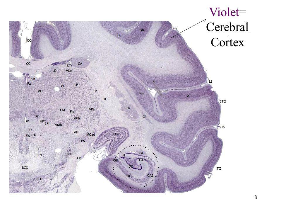 8 Violet= Cerebral Cortex