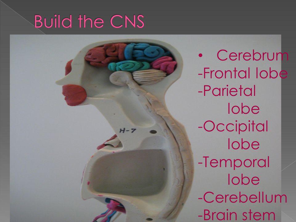 Cerebrum -Frontal lobe -Parietal lobe -Occipital lobe -Temporal lobe -Cerebellum -Brain stem