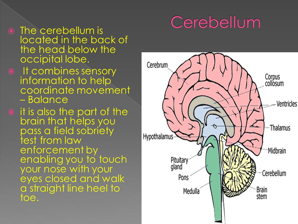  The cerebellum is located in the back of the head below the occipital lobe.
