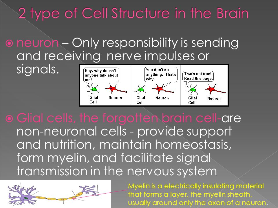  neuron – Only responsibility is sending and receiving nerve impulses or signals.