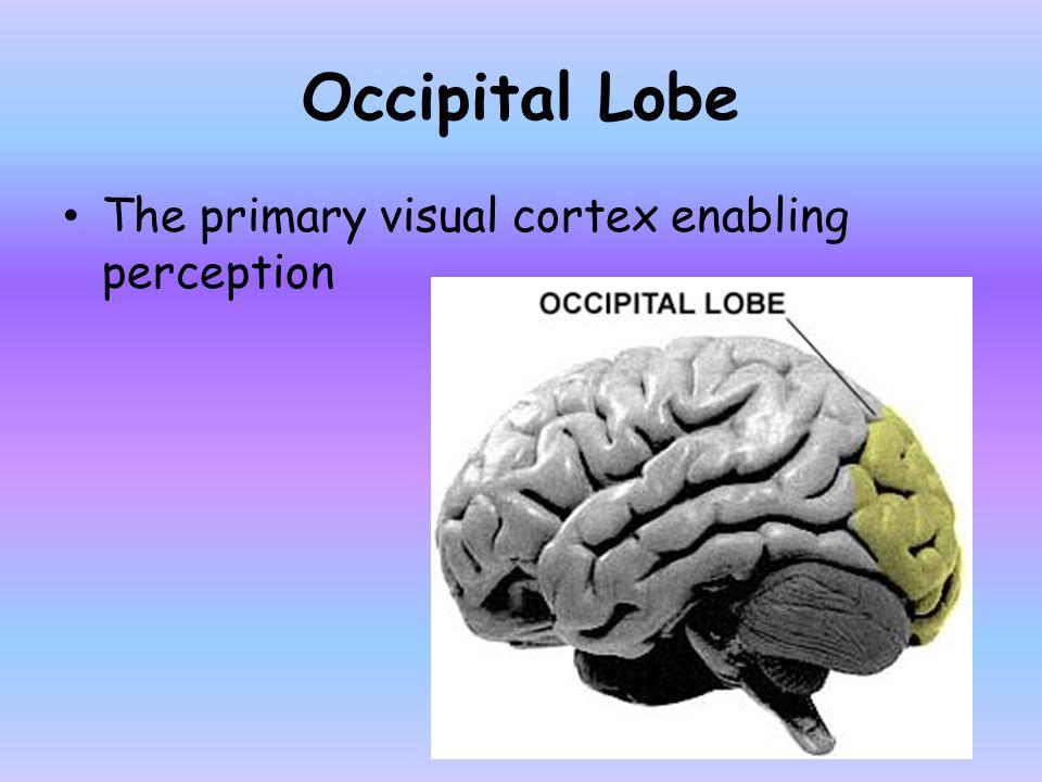 Occipital Lobe The primary visual cortex enabling perception
