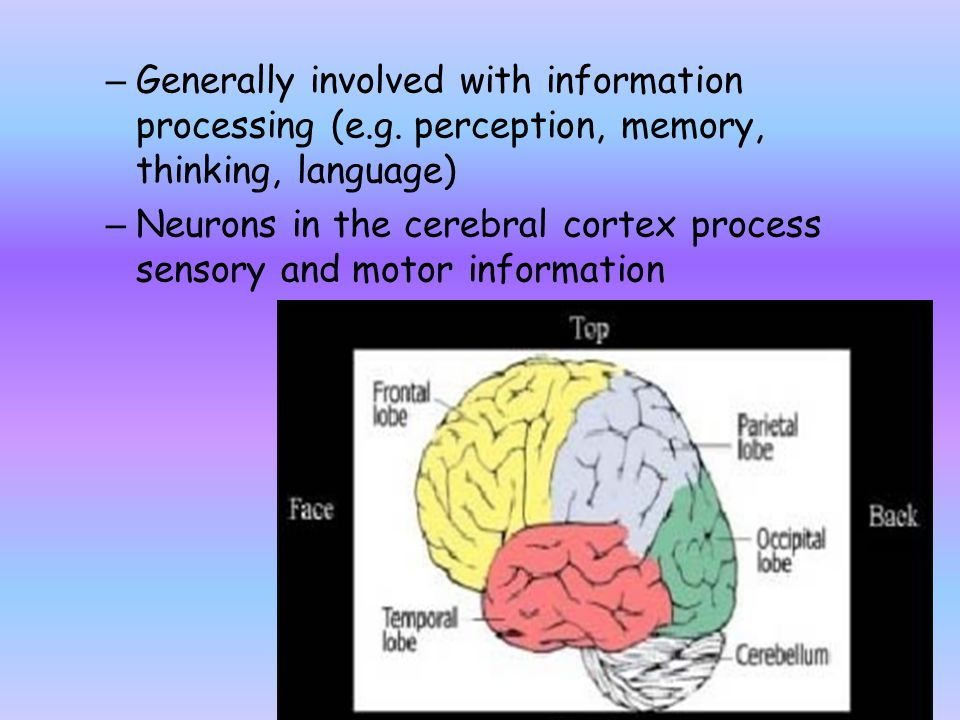 – Generally involved with information processing (e.g. perception, memory, thinking, language) – Neurons in the cerebral cortex process sensory and mo