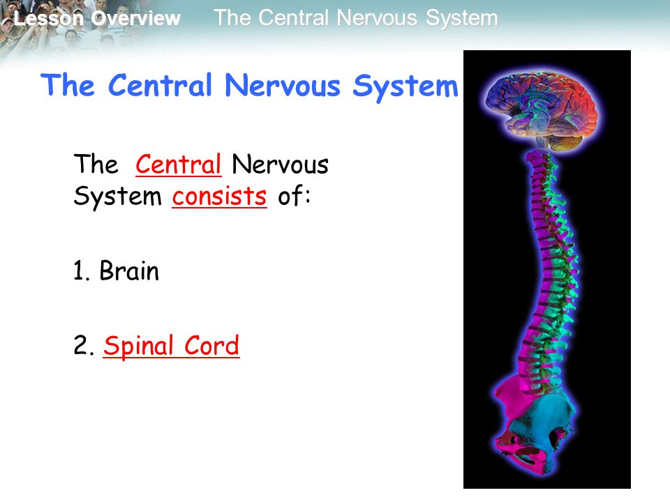Lesson Overview Lesson Overview The Central Nervous System The Central Nervous System consists of: 1. Brain 2. Spinal Cord