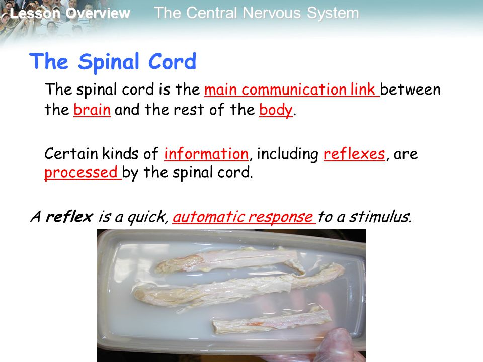 Lesson Overview Lesson Overview The Central Nervous System The Spinal Cord The spinal cord is the main communication link between the brain and the re