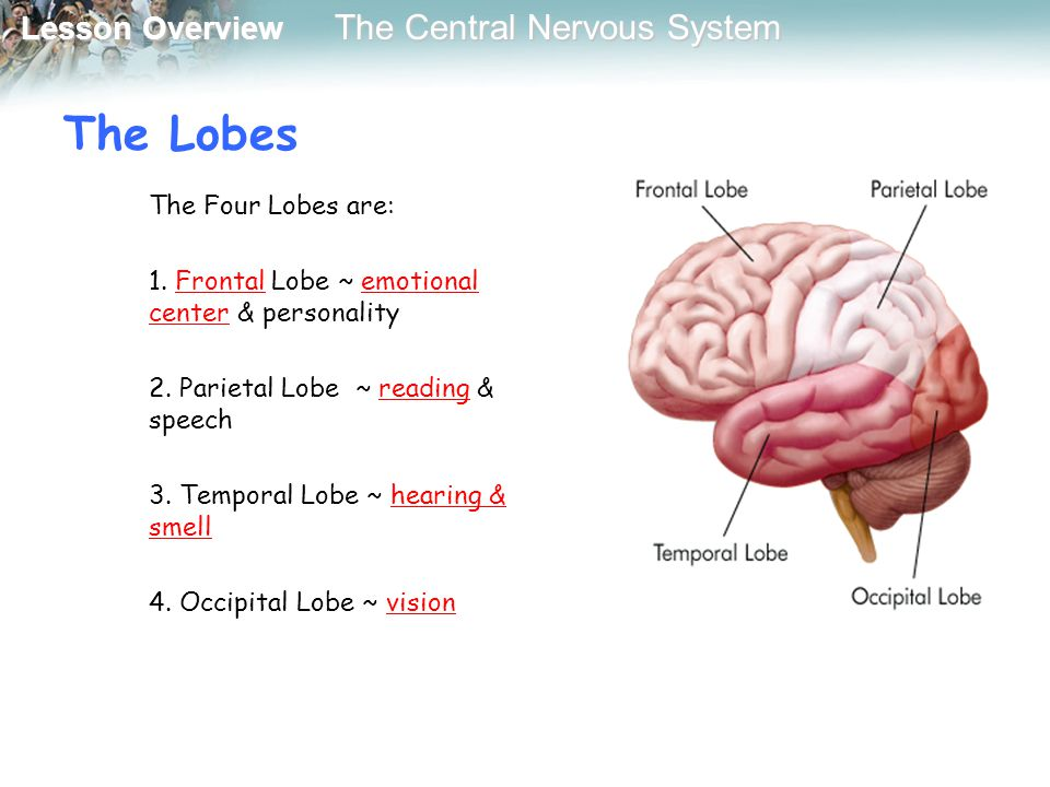 Lesson Overview Lesson Overview The Central Nervous System The Lobes The Four Lobes are: 1. Frontal Lobe ~ emotional center & personality 2. Parietal