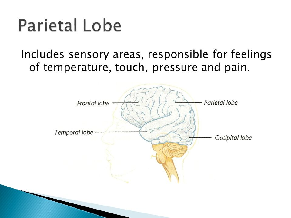 Includes sensory areas, responsible for feelings of temperature, touch, pressure and pain.