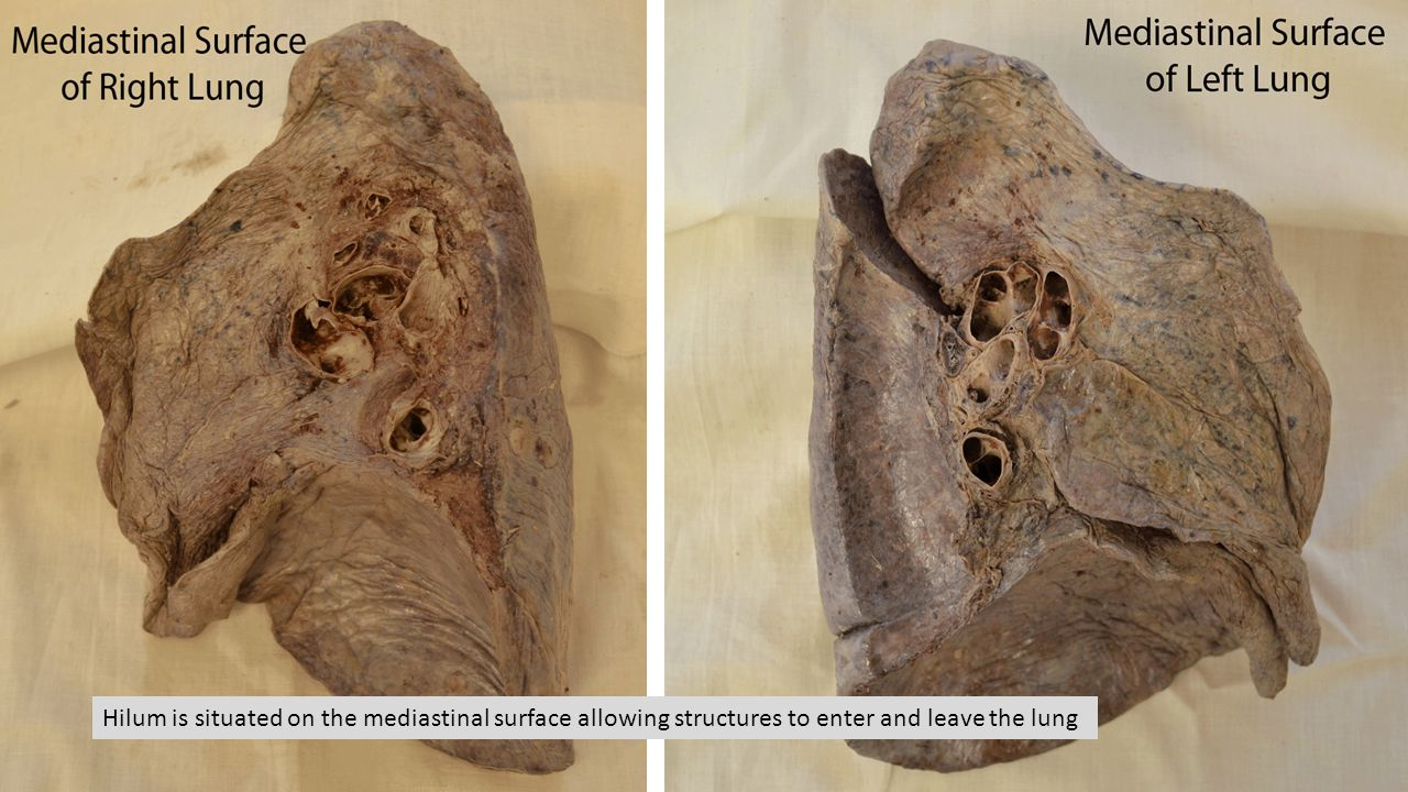 Hilum is situated on the mediastinal surface allowing structures to enter and leave the lung
