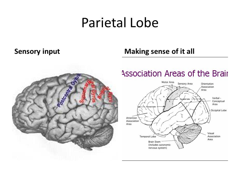 Parietal Lobe Sensory inputMaking sense of it all