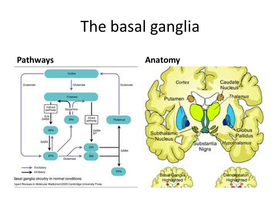 The basal ganglia PathwaysAnatomy