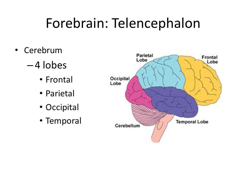Forebrain: Telencephalon Cerebrum – 4 lobes Frontal Parietal Occipital Temporal