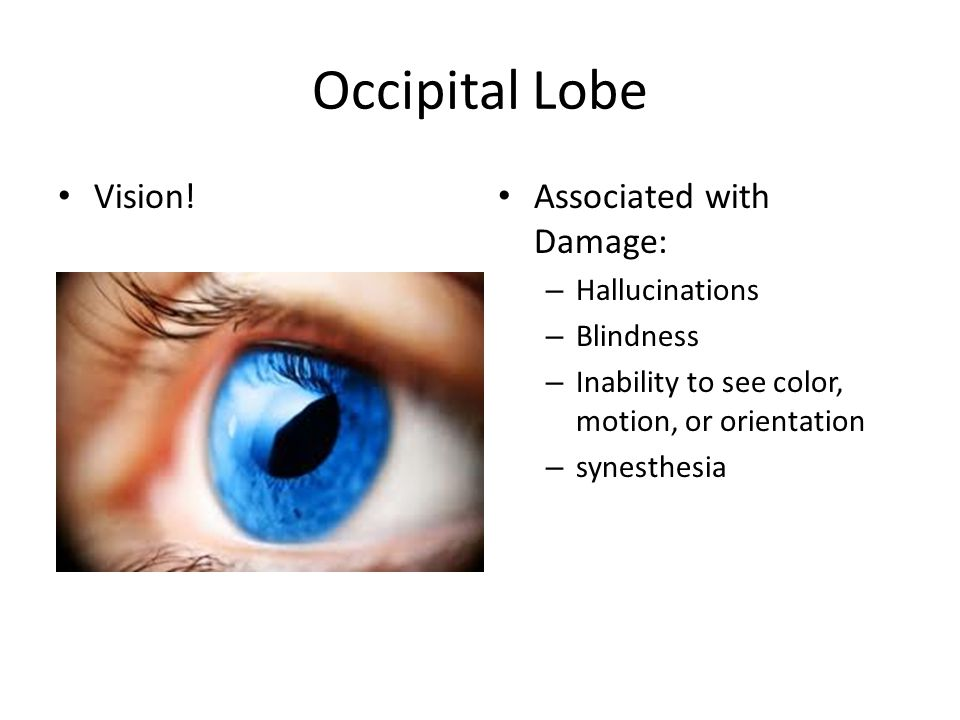 Occipital Lobe Vision! Associated with Damage: – Hallucinations – Blindness – Inability to see color, motion, or orientation – synesthesia