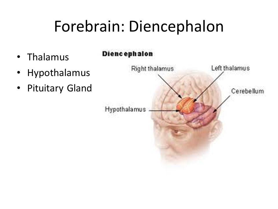 Forebrain: Diencephalon Thalamus Hypothalamus Pituitary Gland