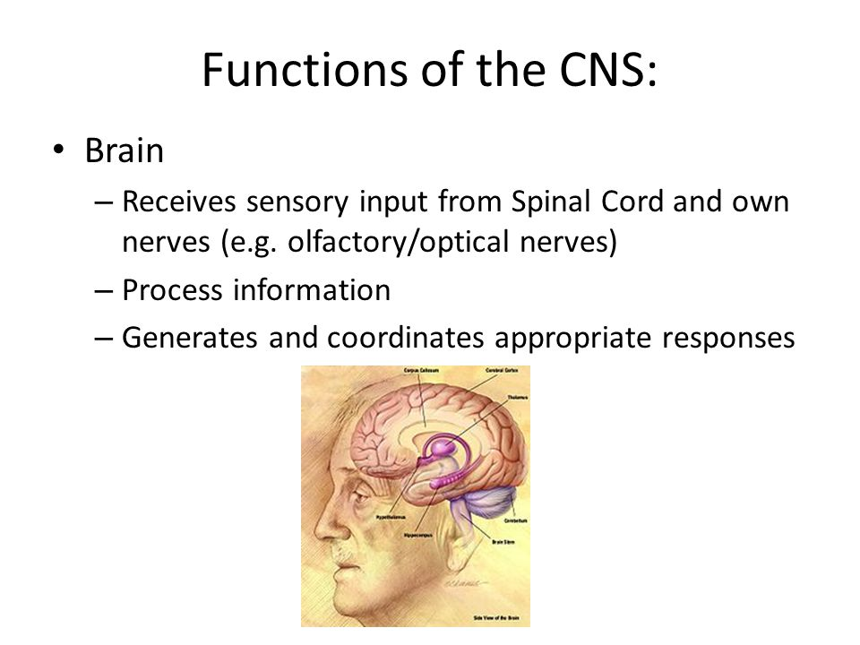 Functions of the CNS: Brain – Receives sensory input from Spinal Cord and own nerves (e.g. olfactory/optical nerves) – Process information – Generates
