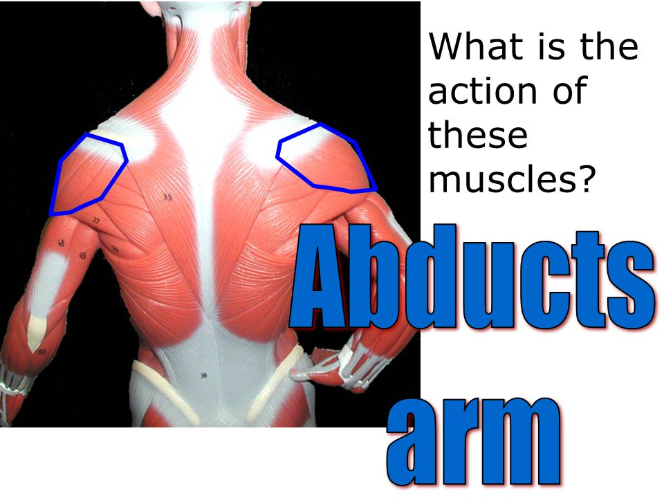 What is the action of these muscles
