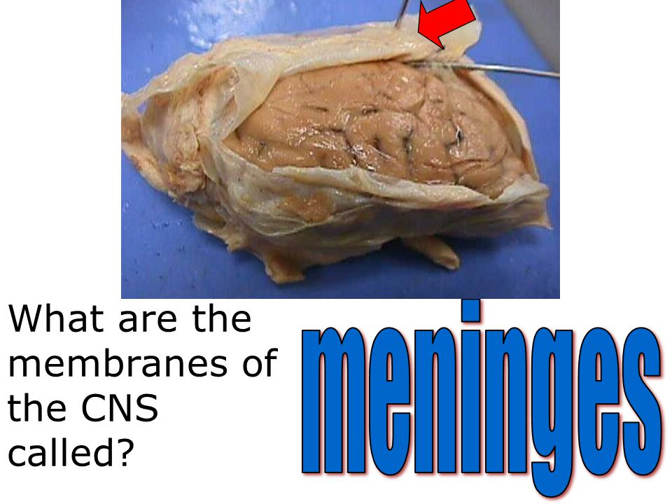 What are the membranes of the CNS called