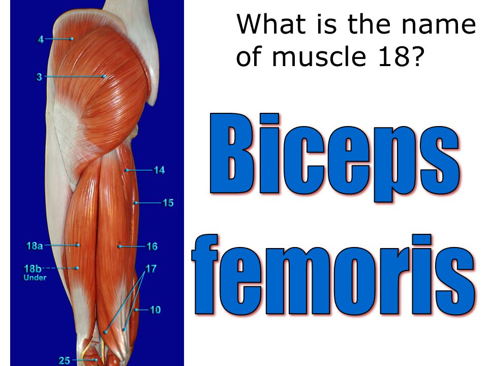 What is the name of muscle 18
