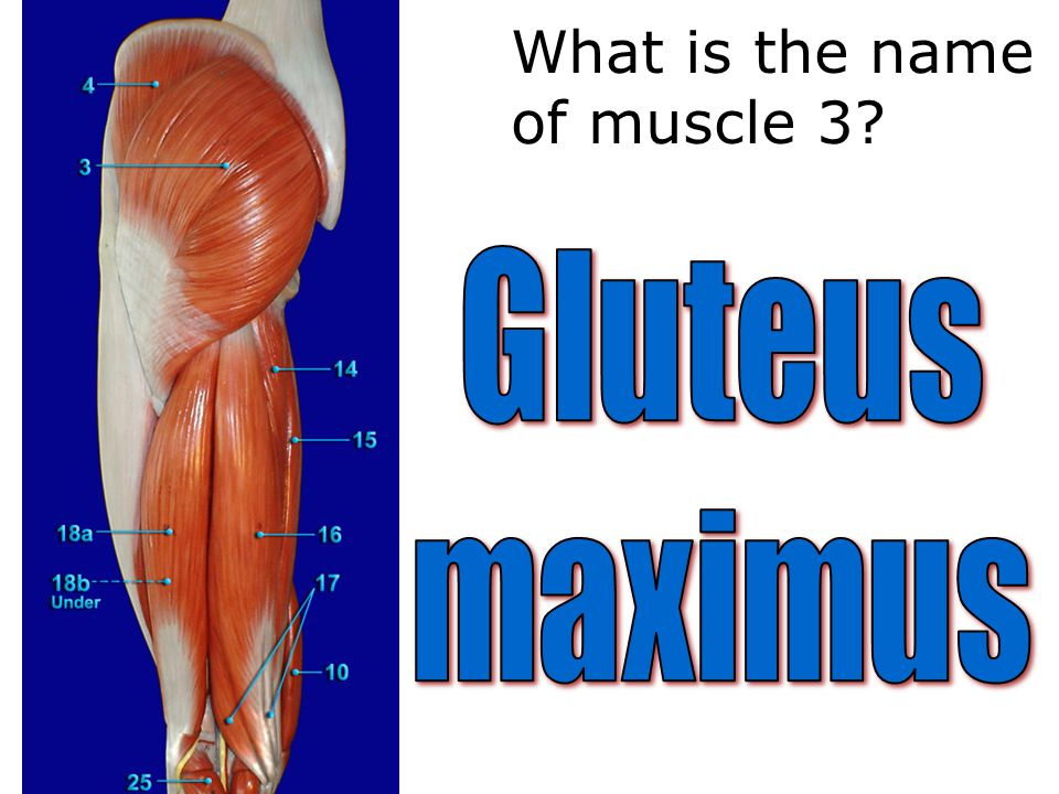 What is the name of muscle 3