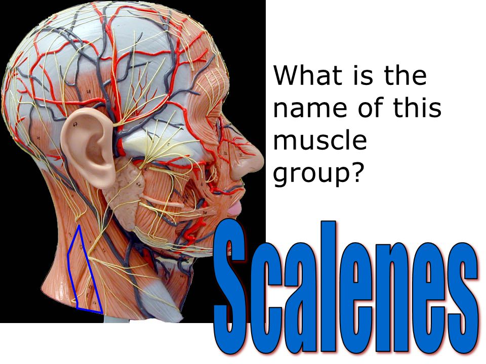 What is the name of this muscle group