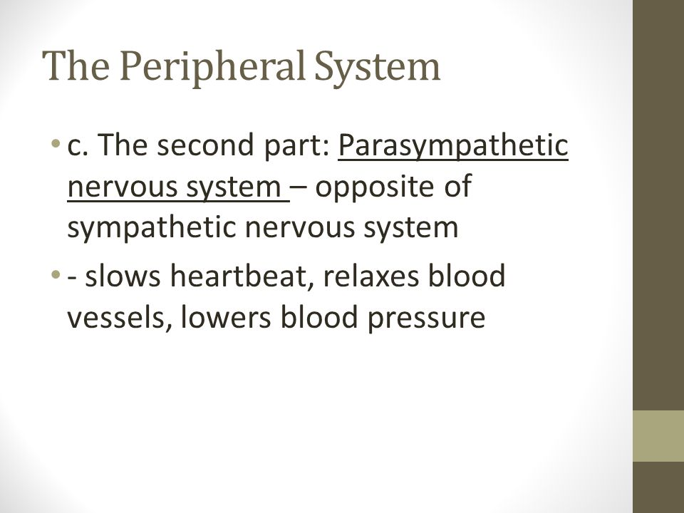 The Peripheral System c. The second part: Parasympathetic nervous system – opposite of sympathetic nervous system - slows heartbeat, relaxes blood ves