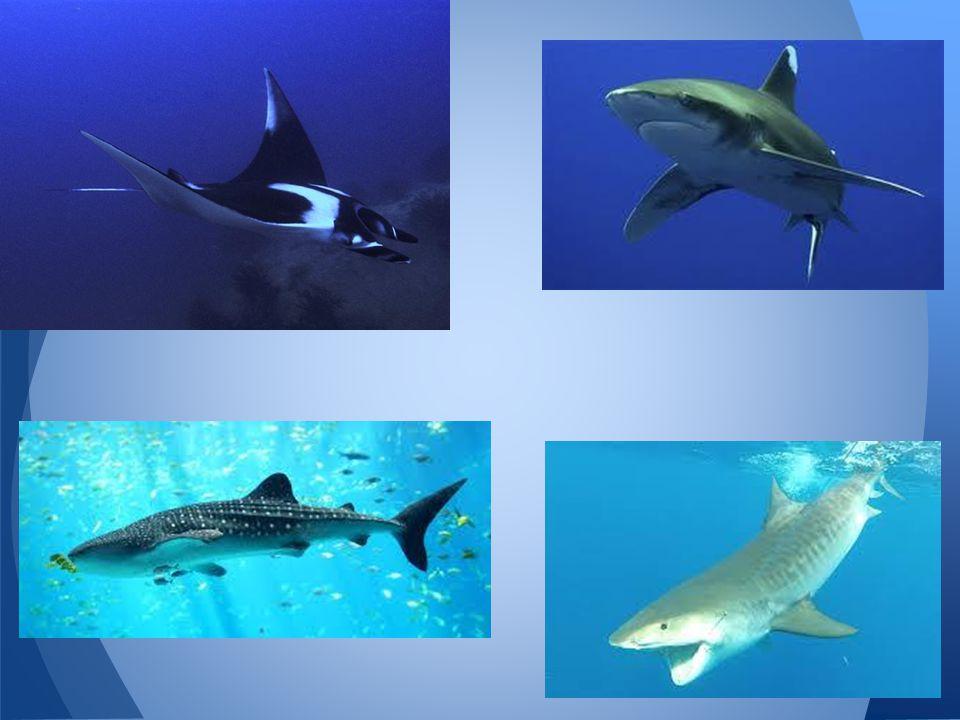 http://en.wikipedia.org/wiki/Chondrichthyes http://vertebrates.voices.wooster.edu/chondrichthyes/ http://www.biodiversityexplorer.org/chondrichthyes/ Further Information: