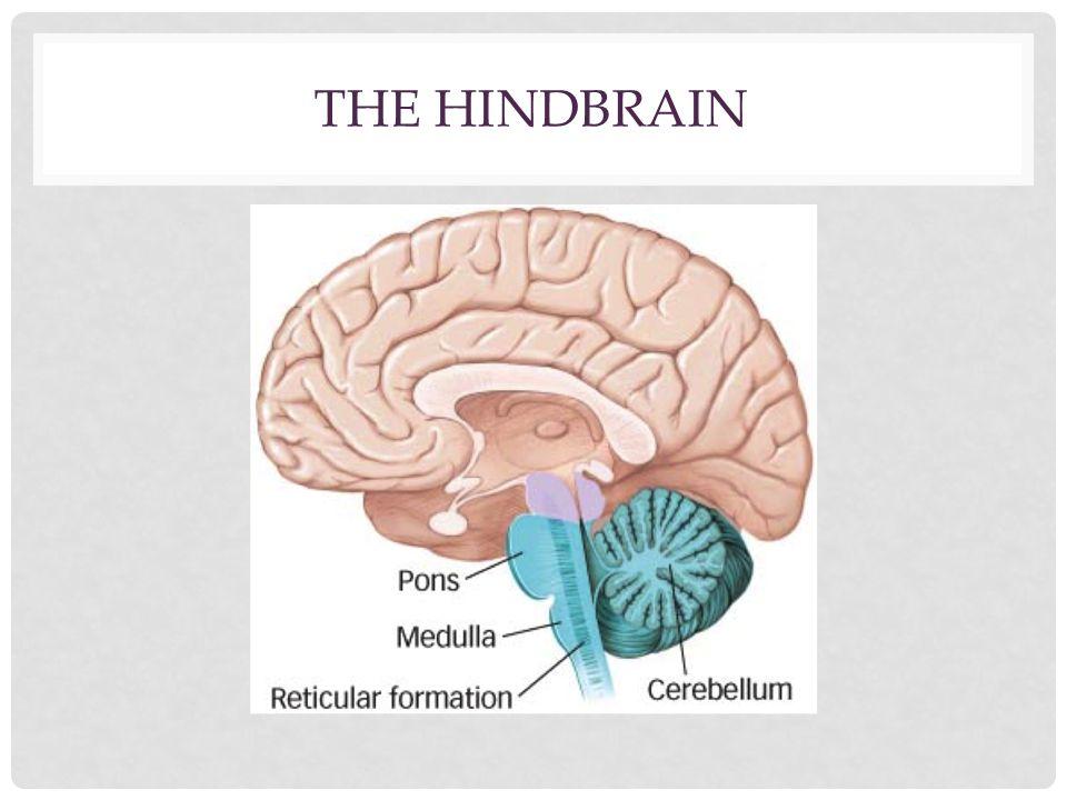 THE HINDBRAIN