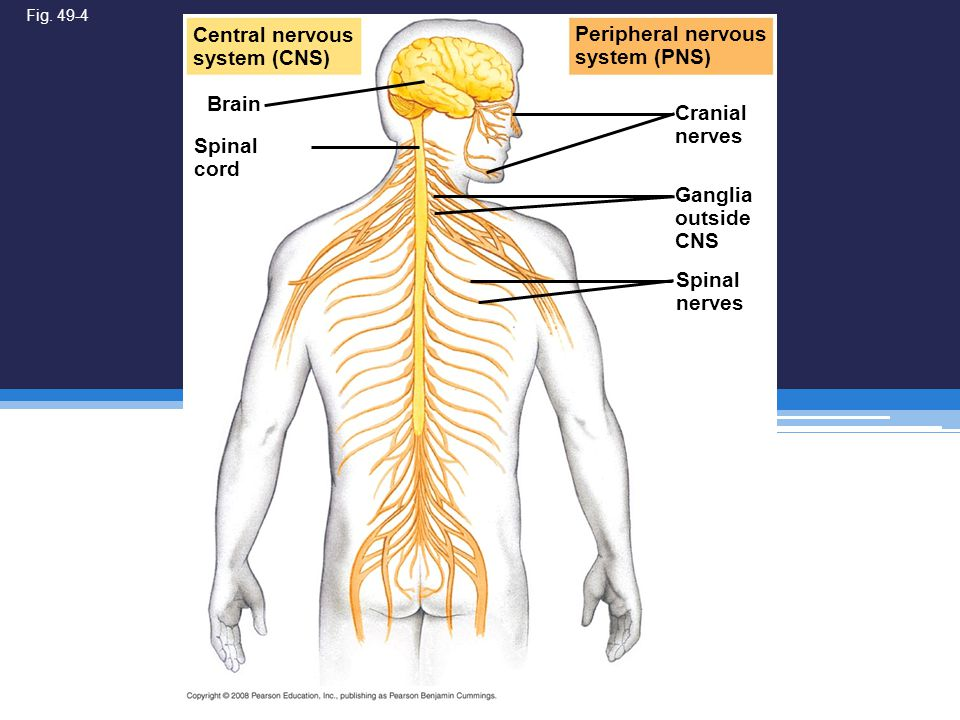 Fig. 49-4 Peripheral nervous system (PNS) Cranial nerves Brain Central nervous system (CNS) Ganglia outside CNS Spinal nerves Spinal cord
