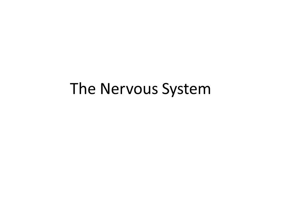 Pons: – Bridge between the cerebrum and the cerebellum Cerebellum: – Balance, muscle tone Medulla Oblongata – Involuntary muscles – Internal organs – Heart rate, respiration