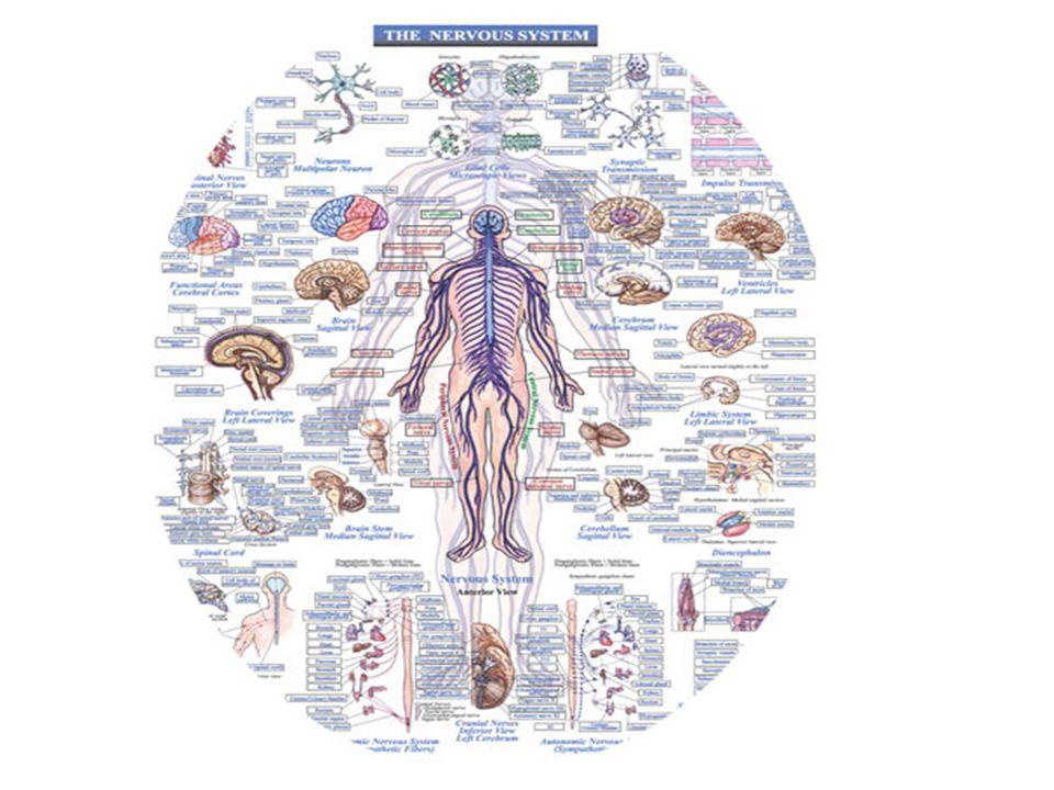 Hypothalamus: – Coordinates NS and endocrine system