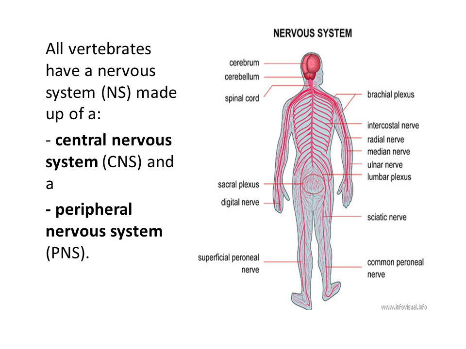 Central nervous system (CNS) 1.CNS: - consists of nerves of the brain and the spinal cord.
