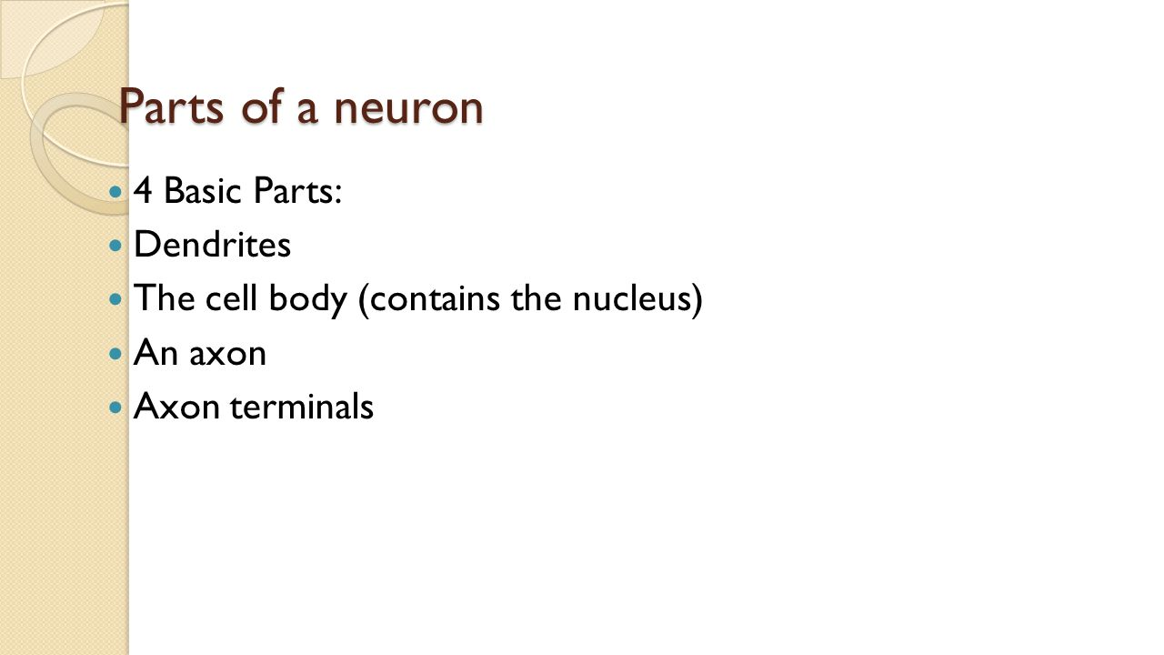 Parts of a neuron 4 Basic Parts: Dendrites The cell body (contains the nucleus) An axon Axon terminals