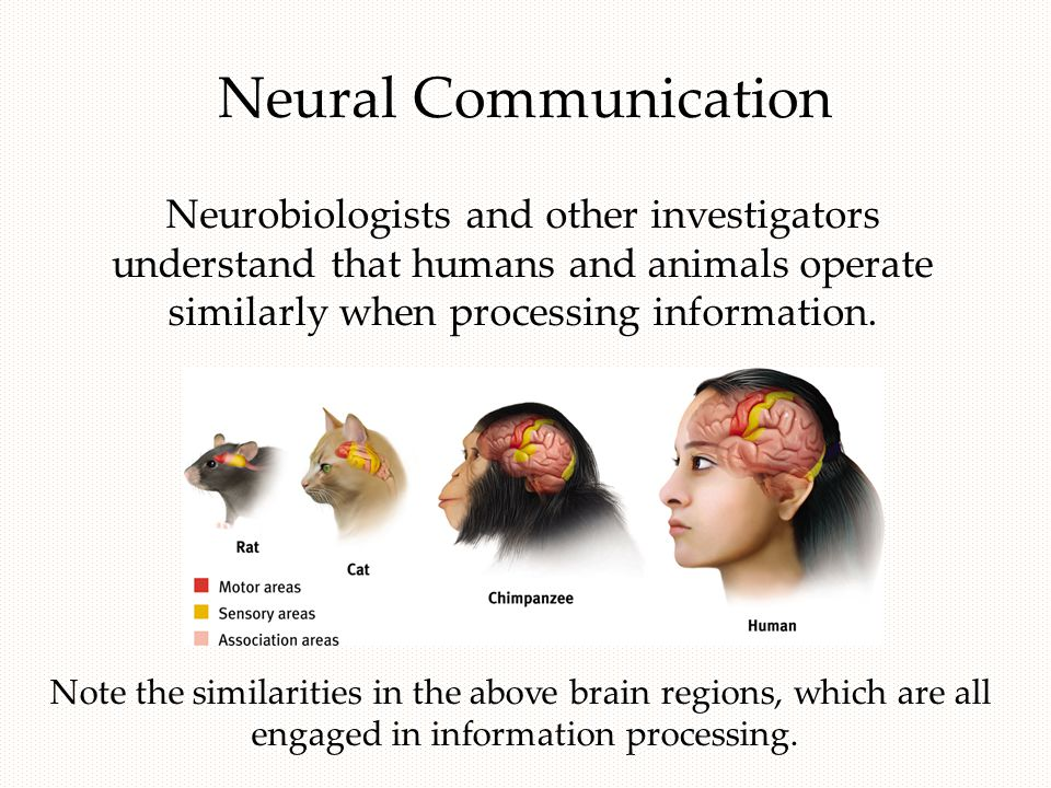 Neural Communication Note the similarities in the above brain regions, which are all engaged in information processing. Neurobiologists and other inve