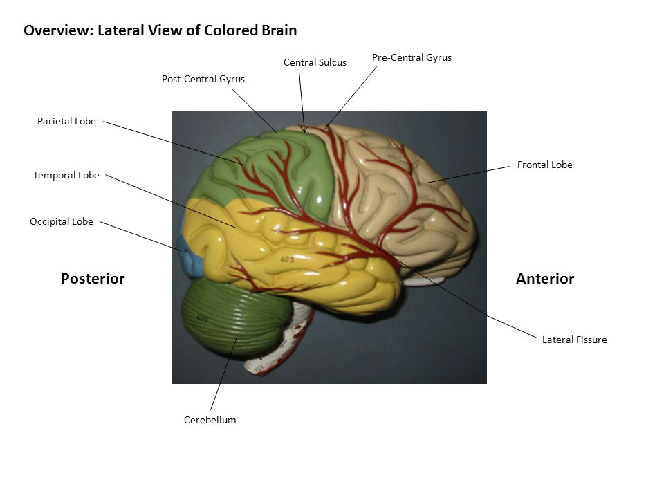 AnteriorPosterior Overview: Lateral View of Colored Brain Frontal Lobe Pre-Central Gyrus Post-Central Gyrus Central Sulcus Parietal Lobe Occipital Lob