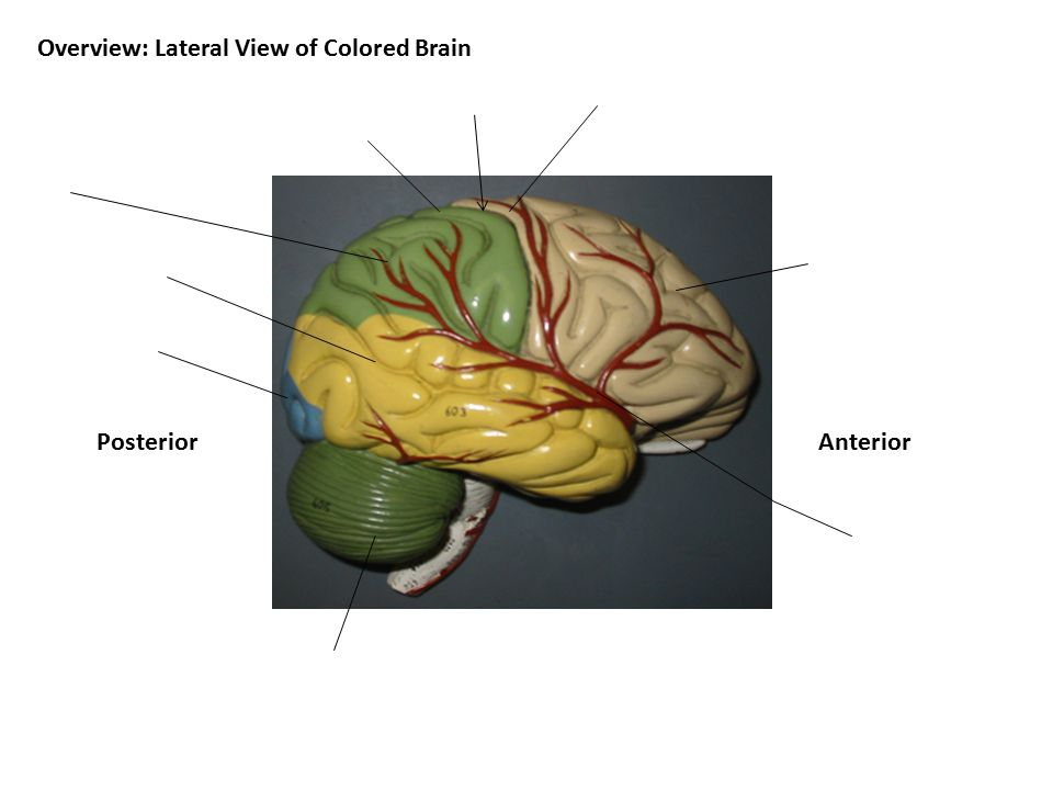 AnteriorPosterior Overview: Lateral View of Colored Brain