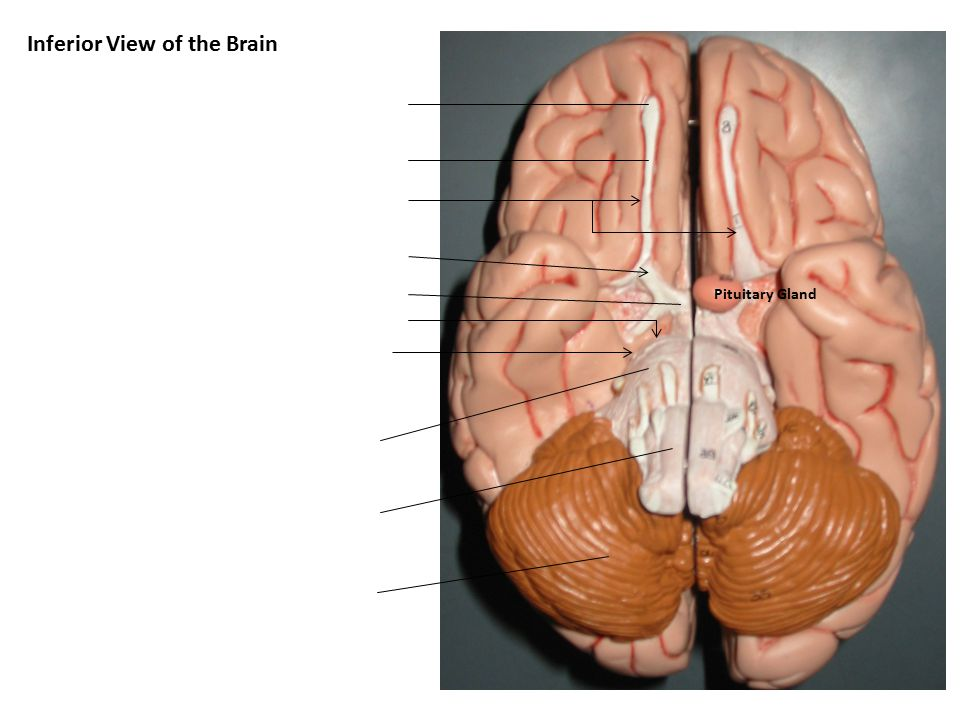Functional Areas of Cerebral Cortex