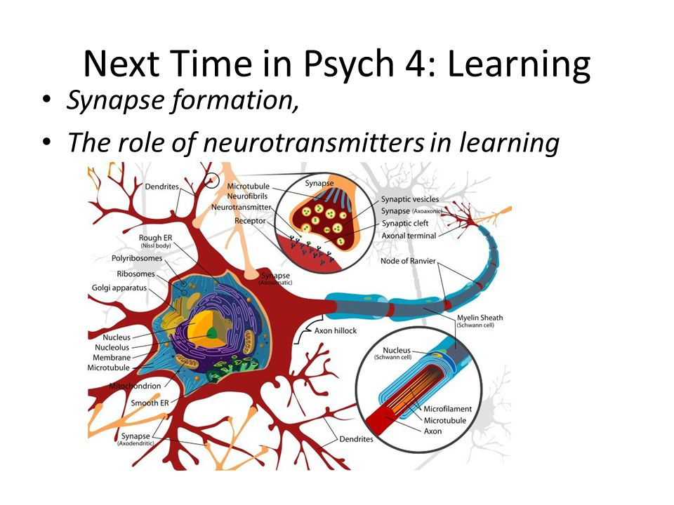 Next Time in Psych 4: Learning Synapse formation, The role of neurotransmitters in learning