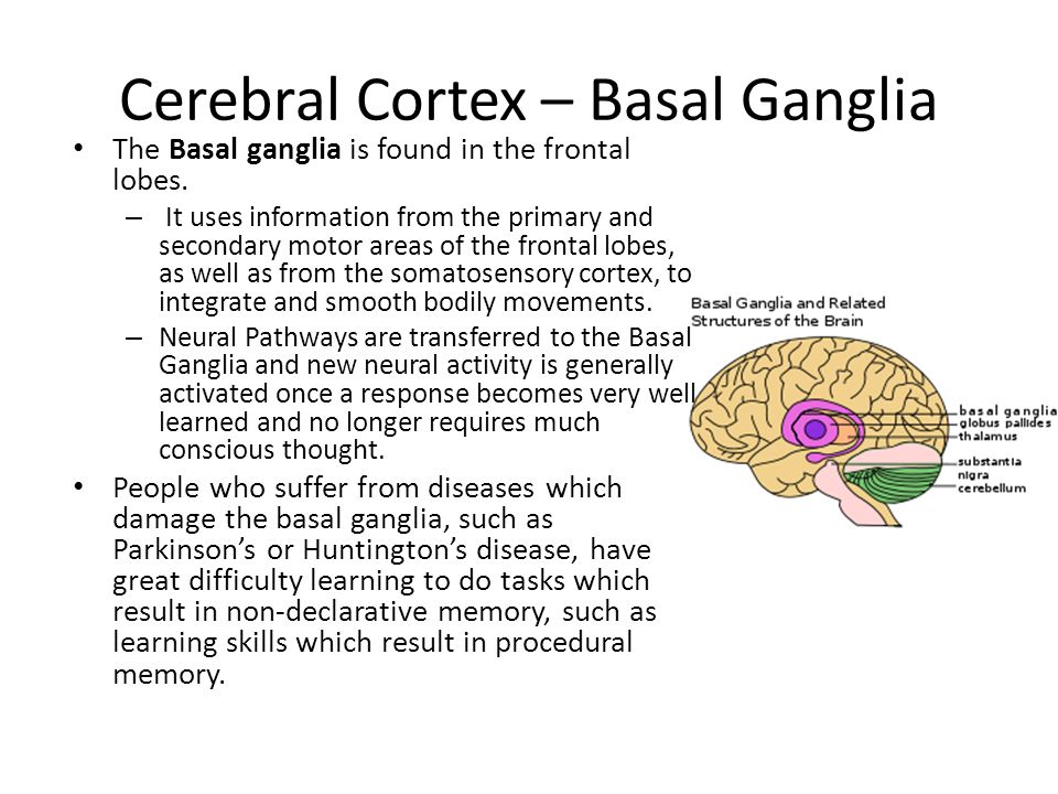 Cerebral Cortex – Basal Ganglia The Basal ganglia is found in the frontal lobes.