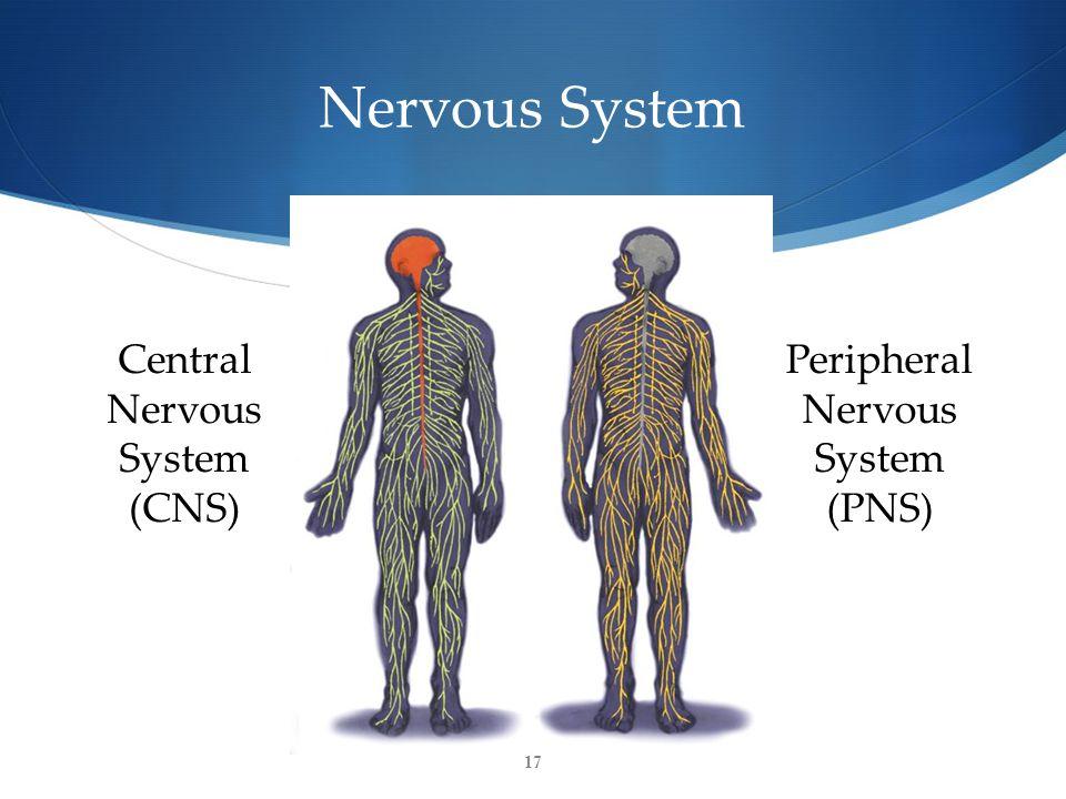 17 Nervous System Central Nervous System (CNS) Peripheral Nervous System (PNS)