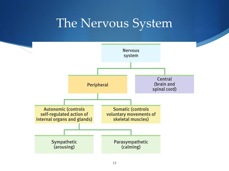 19 The Nervous System