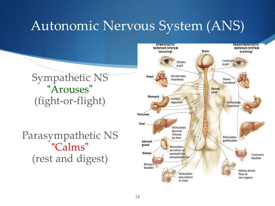 24 Autonomic Nervous System (ANS) Sympathetic NS Arouses (fight-or-flight) Parasympathetic NS Calms (rest and digest)