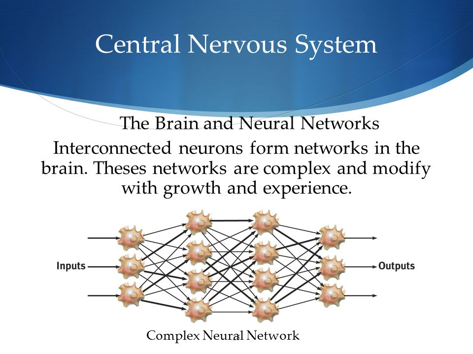 25 Central Nervous System The Brain and Neural Networks Complex Neural Network Interconnected neurons form networks in the brain.