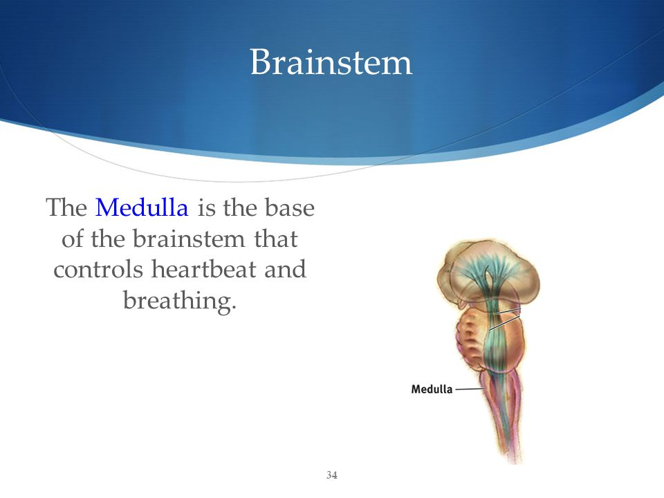 Brainstem The Medulla is the base of the brainstem that controls heartbeat and breathing. 34