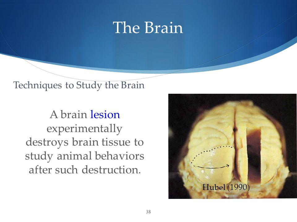 The Brain A brain lesion experimentally destroys brain tissue to study animal behaviors after such destruction.