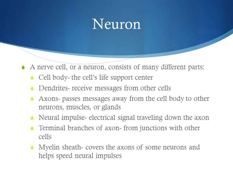 Neuron  A nerve cell, or a neuron, consists of many different parts:  Cell body- the cell's life support center  Dendrites- receive messages from other cells  Axons- passes messages away from the cell body to other neurons, muscles, or glands  Neural impulse- electrical signal traveling down the axon  Terminal branches of axon- from junctions with other cells  Myelin sheath- covers the axons of some neurons and helps speed neural impulses